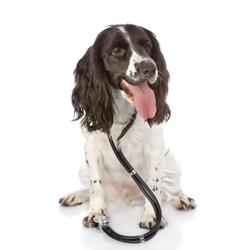 Kann sich der Hund mit Covid-19 infizieren oder Überträger sein